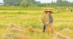 خرید برنج گیلان